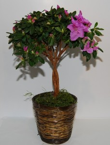 "6"" Topiary Azalea Tree"