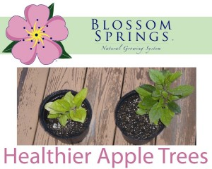 blossom-springs-apple-tree