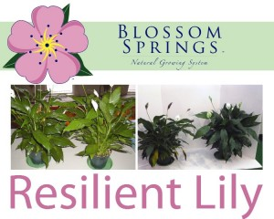 blossom-springs-peace-lily
