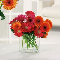 Glorious Gerbera